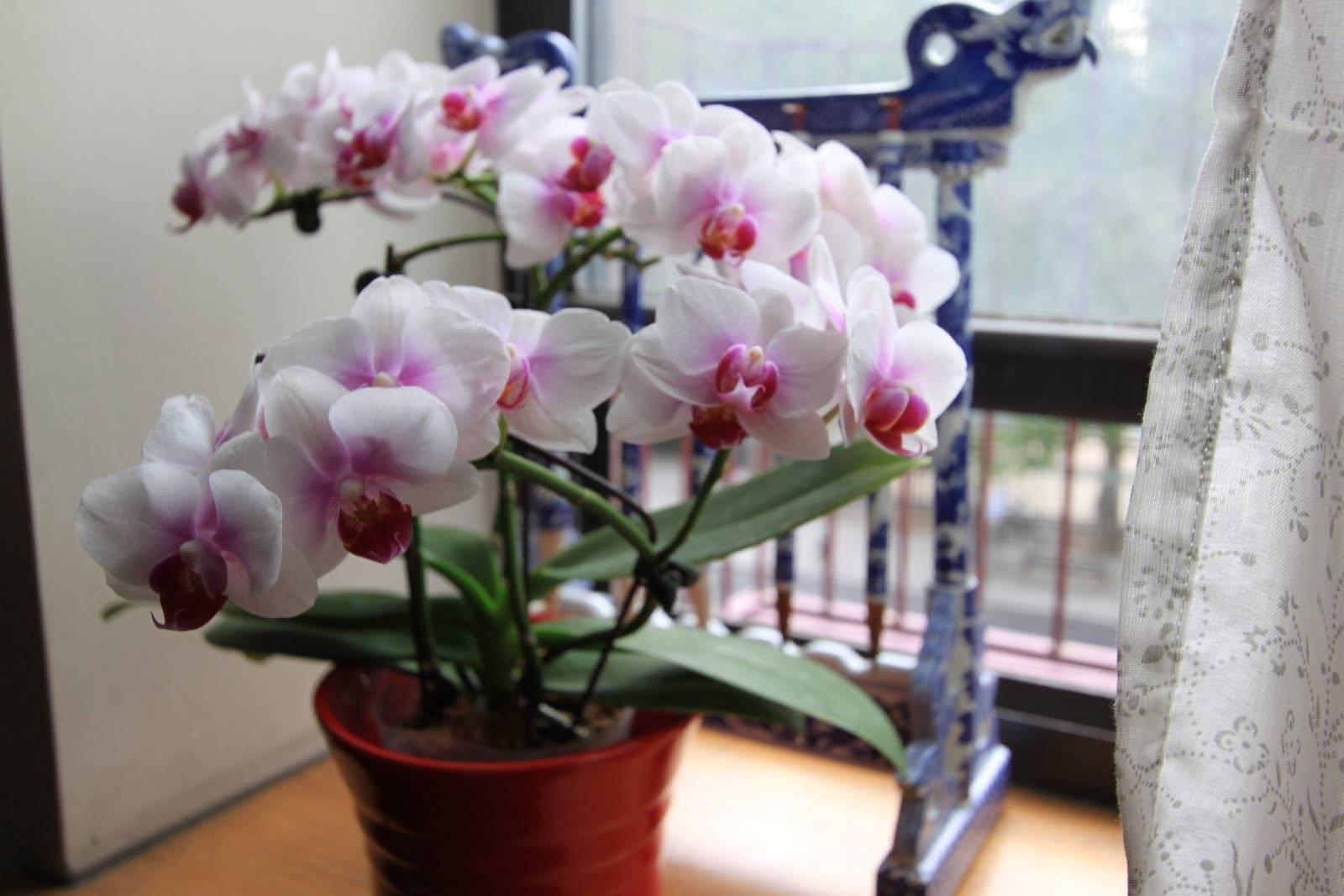 dove posizionare le orchidee in casa cura orchiedee
