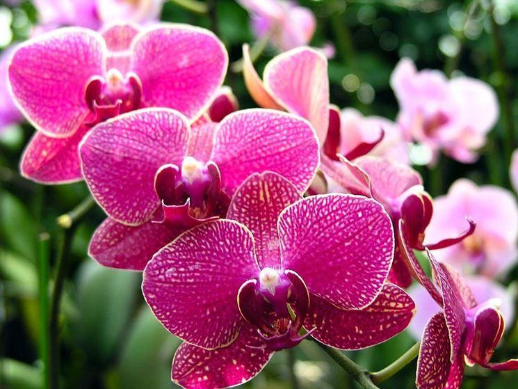 Fioritura orchidea.