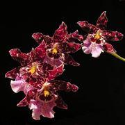 orchidea cambria1