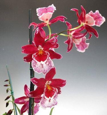 orchidea cambria3