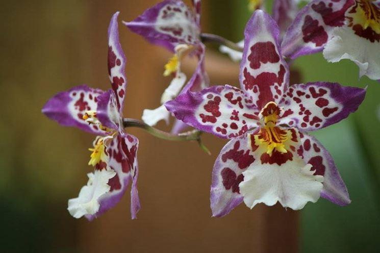 orchidea cambria2