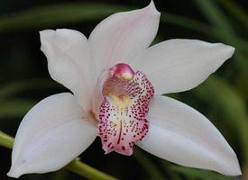 Le migliori orchidee Cymbidium