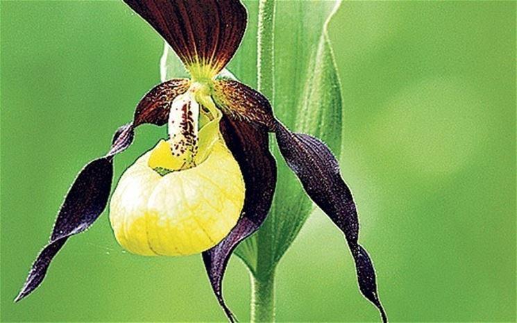 orchidea speciale