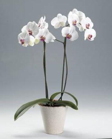 Come Realizzare Mini Orchidee Cura Orchidee Consigli Per La