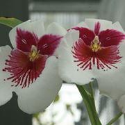 Orchidee rare