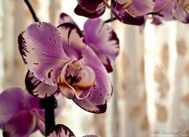 Quando scegliere un'orchidea Vanda