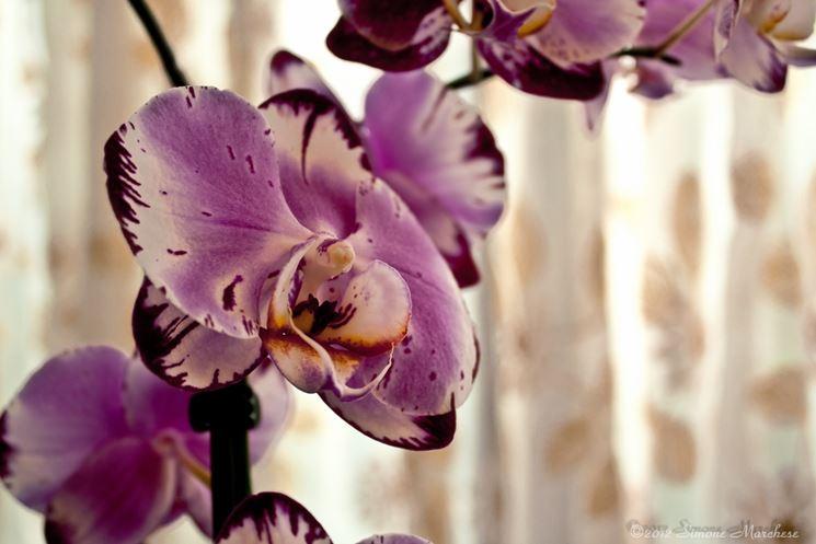 Quando scegliere un 39 orchidea vanda cura orchidee quando scegliere un 39 orchidea vanda e come - Come curare un orchidea in casa ...