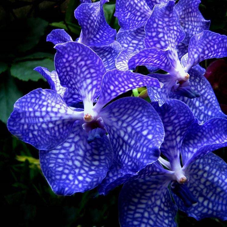 Orchidea Vanda blu