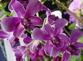 Scegliere le orchidee Dendrobium