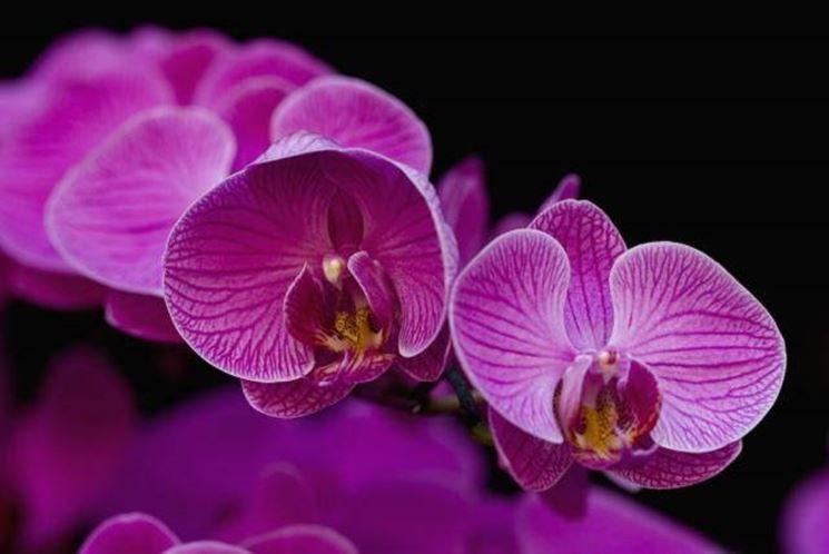 fiore orchidea dendrobium