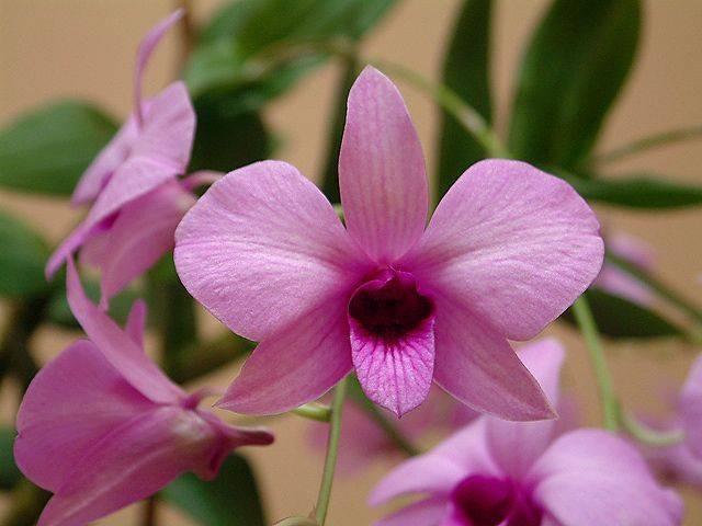 scegliere le orchidee dendrobium cura orchiedee come scegliere le orchidee dendrobium. Black Bedroom Furniture Sets. Home Design Ideas