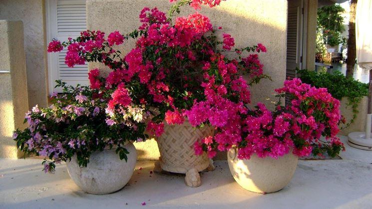 Coltivazione dei fiori da vaso cura piante appartamento for Piante e fiori da appartamento