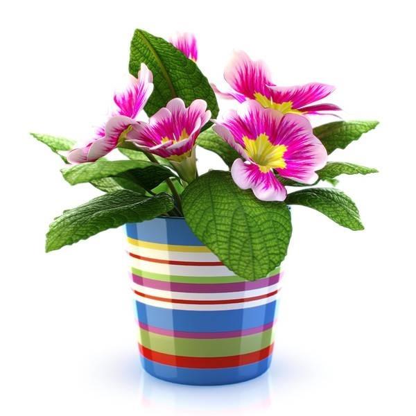 Coltivazione dei fiori da vaso cura piante appartamento for Fiori da vaso perenni