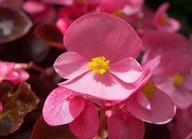 La begonia e le sue variet�