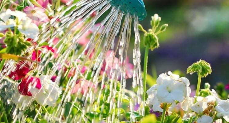 begonia irrigazione