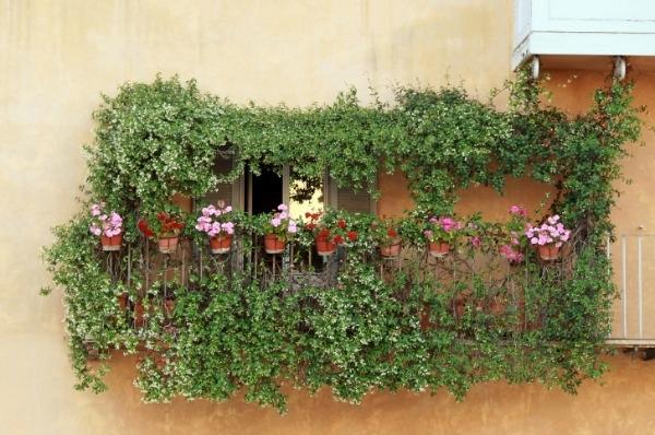 fiori e piante piante da balcone : ... da comprendere per quanto riguarda i rampicanti da balcone ? il