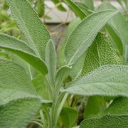 Cesto di salvia officinalis