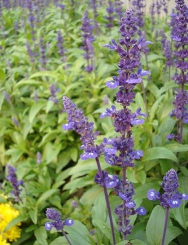 Foglie di salvia officinalis viste da vicino.