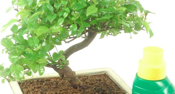 Concimazione del bonsai di gardenia