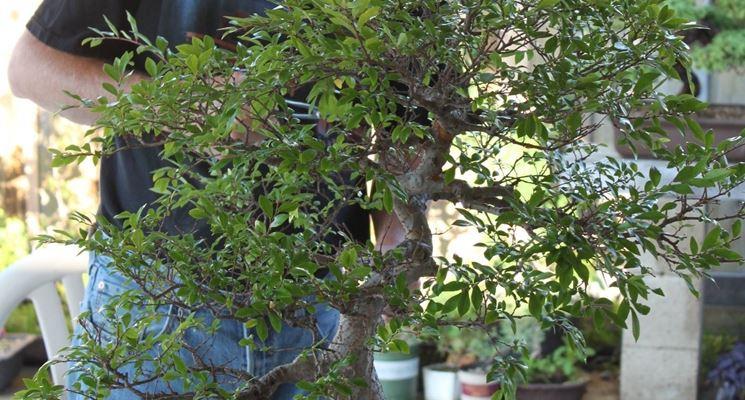 Potatura bonsai di gardenia