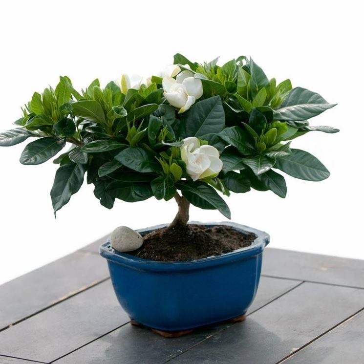 Bonsai di gardenia