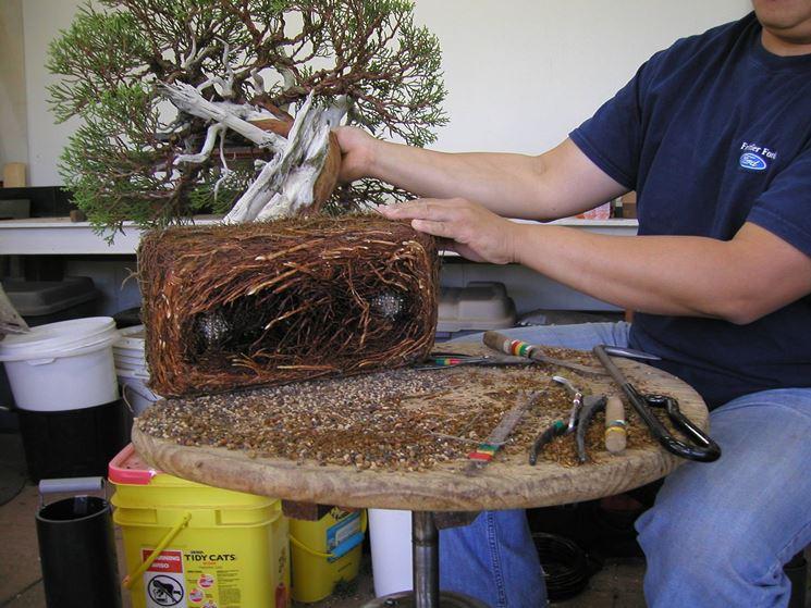 Vaso più grande per il bonsai