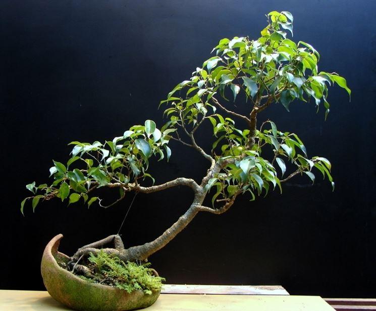 come creare un bonsai ficus benjamin fare bonsai. Black Bedroom Furniture Sets. Home Design Ideas
