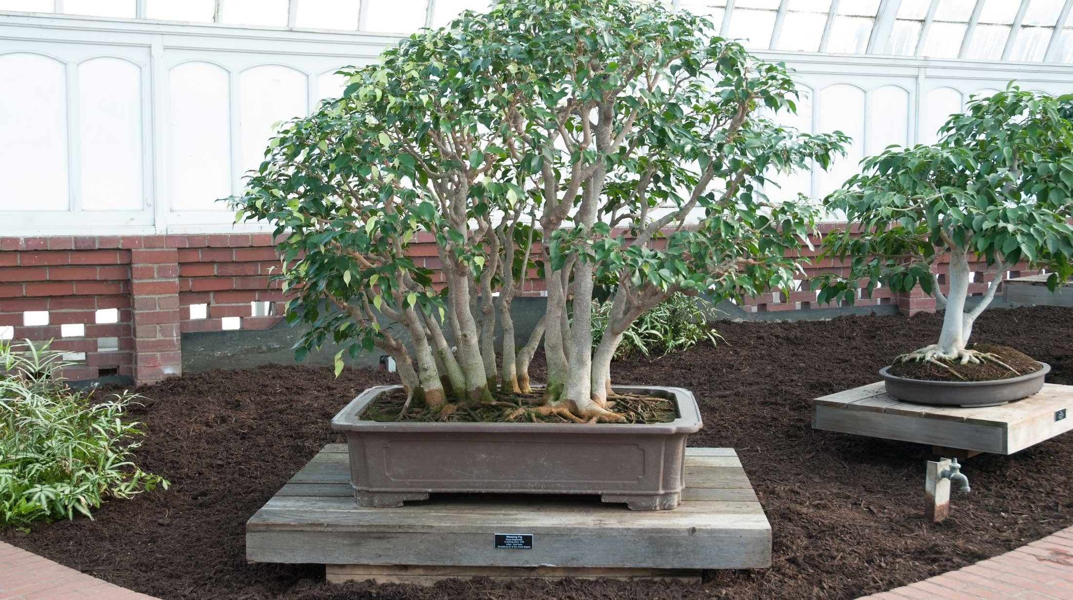 Cura Del Ficus Benjamin come creare un bonsai ficus benjamin - fare bonsai - bonsai