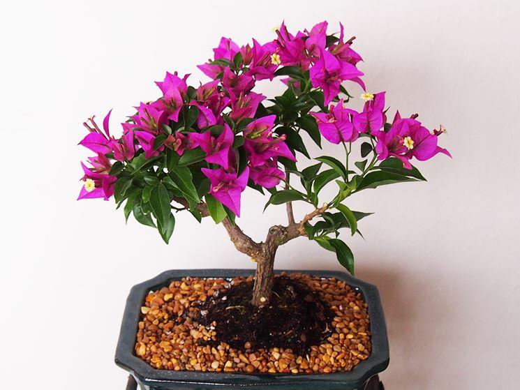 bonsai fiore