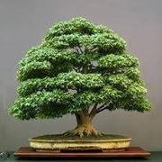 bonsai da esterno