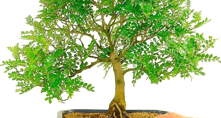 Come curare l 39 albero del pepe bonsai fare bonsai for Bonsai pepe