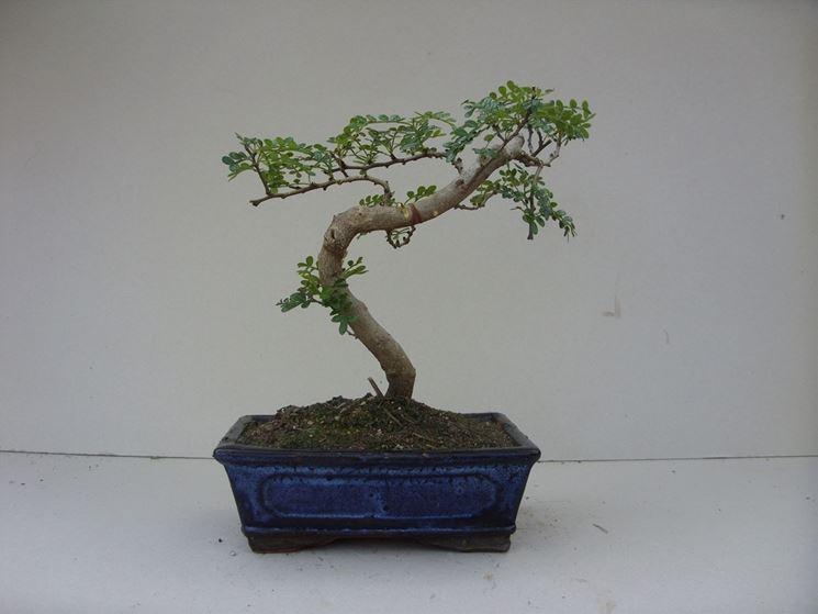 bonsai albero di pepe