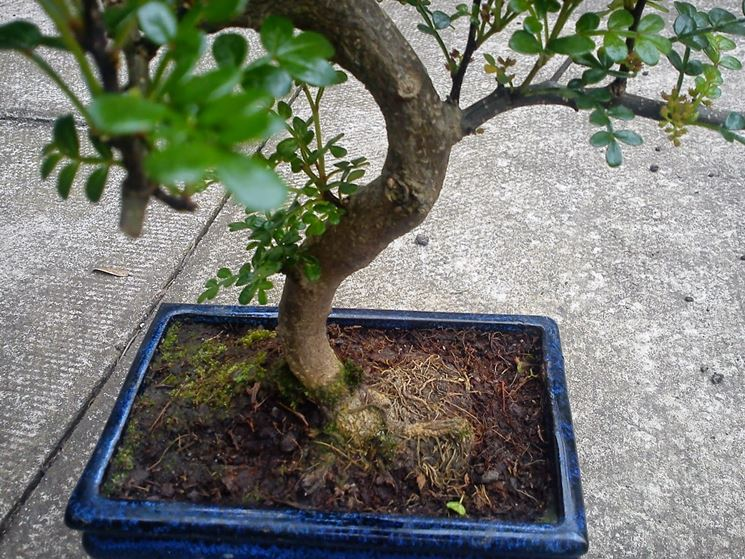 bonsai in fiore
