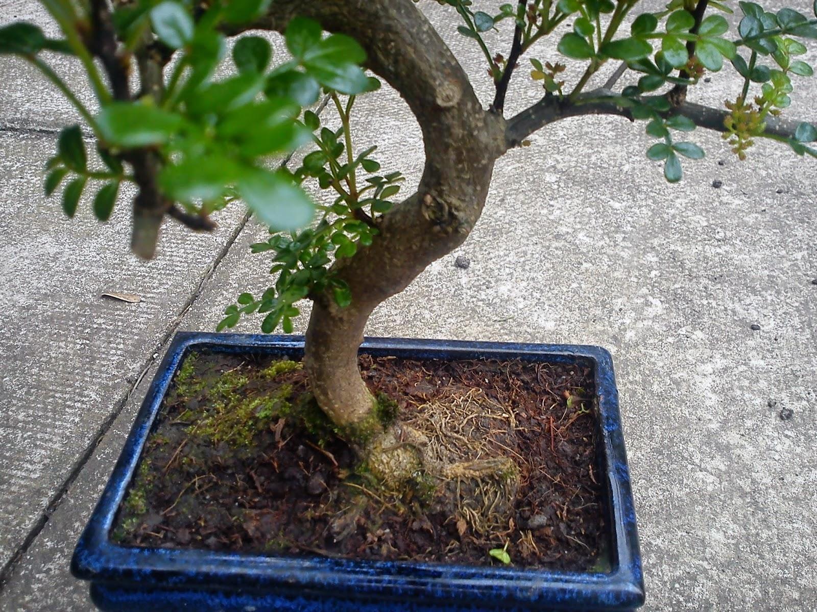 Come curare un bonsai di albero del pepe fare bonsai for Bonsai pepe