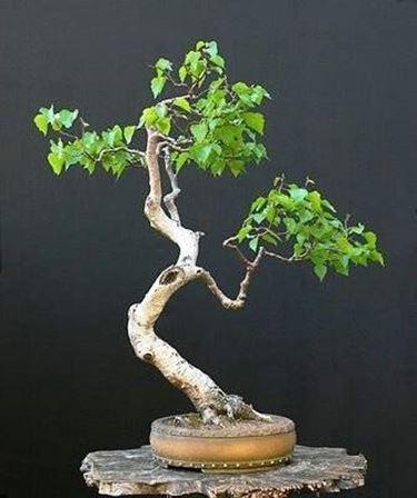 bonsai betulla