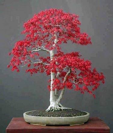 bonsai rosso betulla