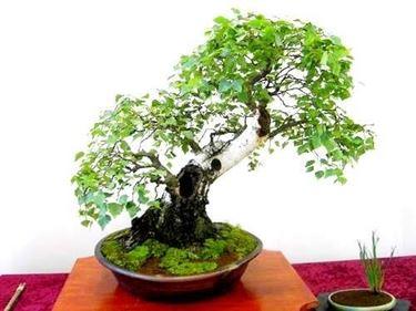 bonsai betulla foglie verdi