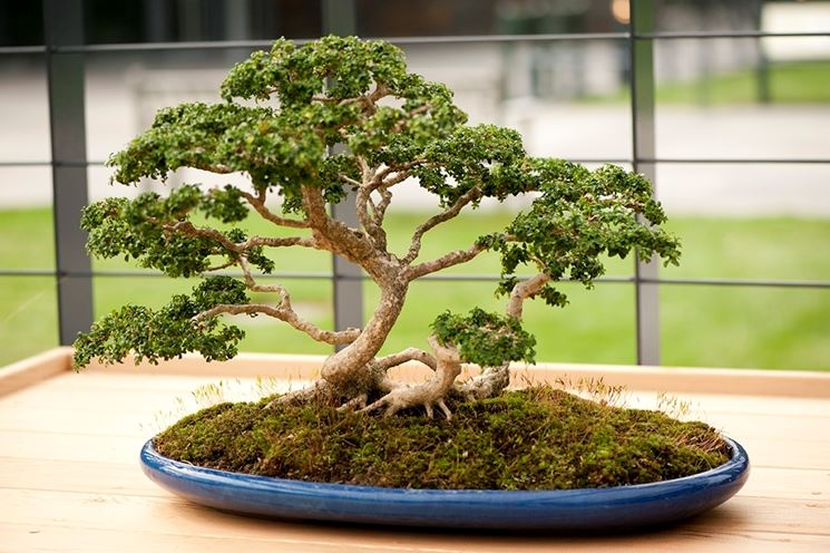 Come curare un bonsai di bosso fare bonsai bonsai for Piante per bonsai