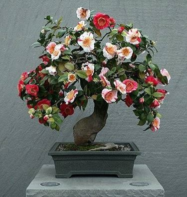 Cure bonsai camelia