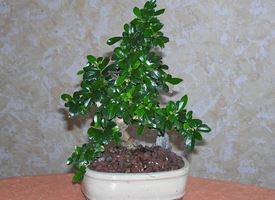 Come curare un bonsai di carmona