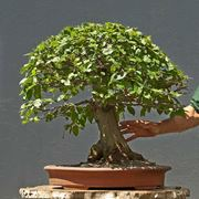 Bonsai carpino intero