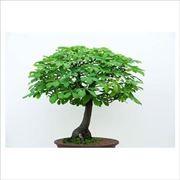 bonsai castagno