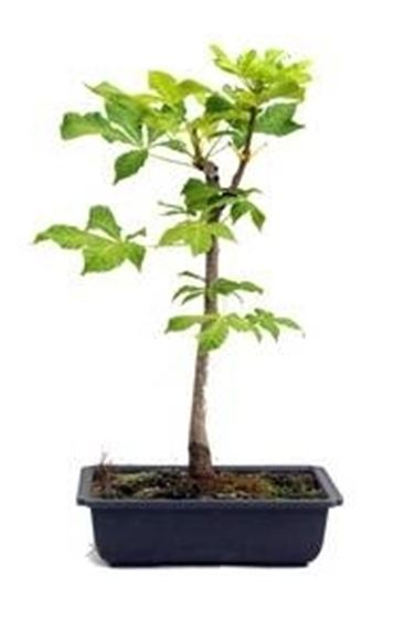 Come curare un bonsai di castagno fare bonsai bonsai for Pianta castagno prezzo