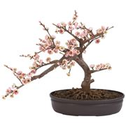 bonsai ciliegio