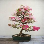 ciliegio bonsai