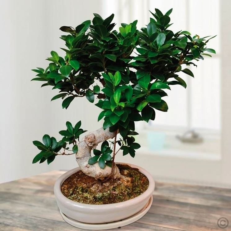 come curare un bonsai di ficus ginseng fare bonsai. Black Bedroom Furniture Sets. Home Design Ideas