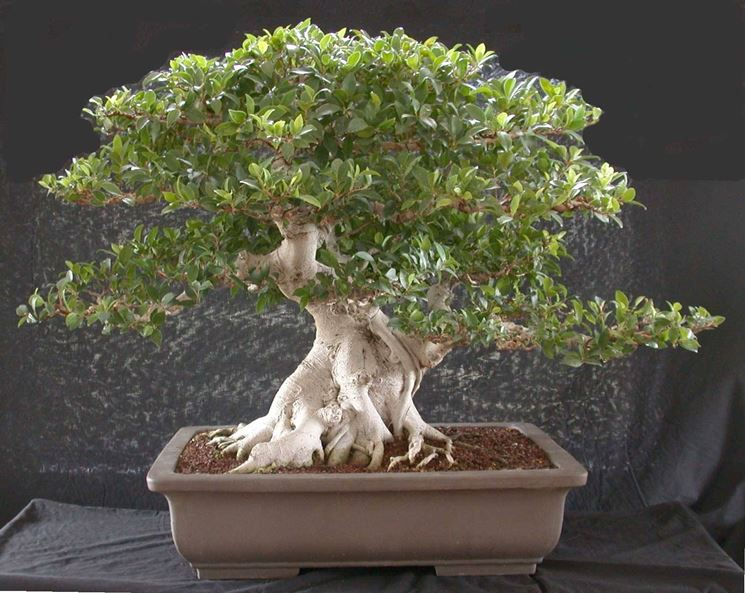 Bonsai di Ficus microcarpa