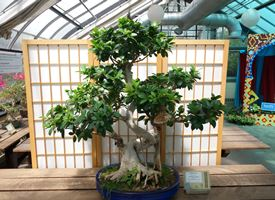 Come curare un bonsai di ficus retusa