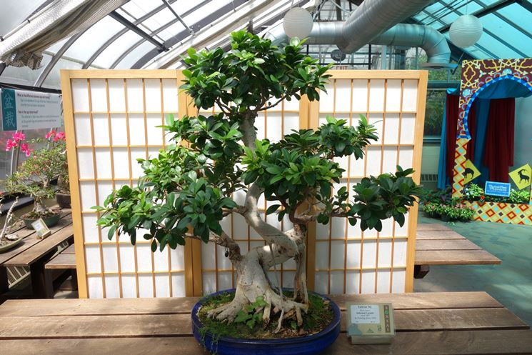 bonsai di ficus retusa