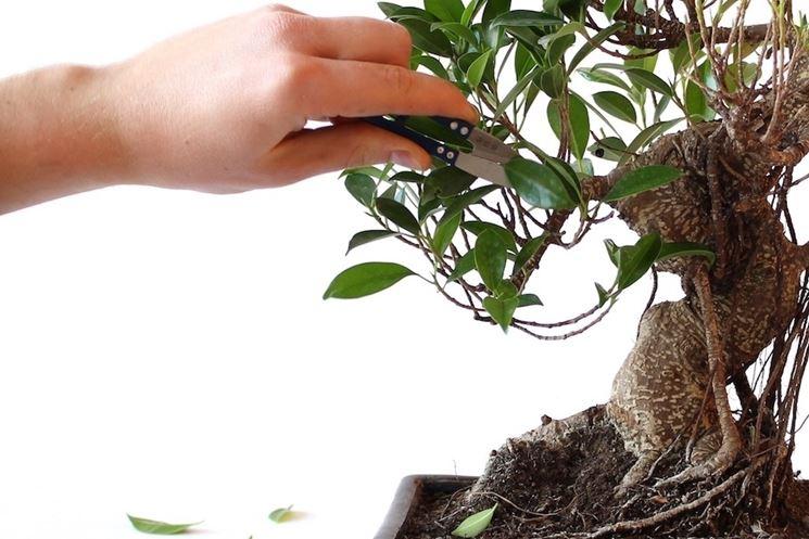 Potatura bonsai